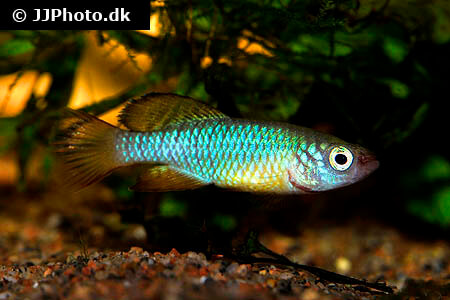 Nothobranchius rubripinnis Killifish