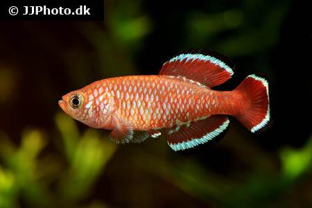 Nothobranchius rubroreticulatus Killifish