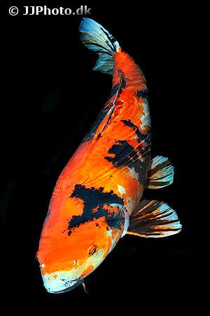 Orange black and white koi