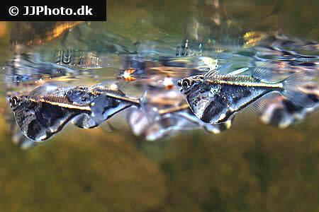 Marble Hatchet Fish - Carnegiella strigata