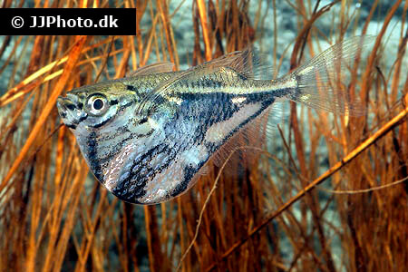 Marble Hatchet Fish