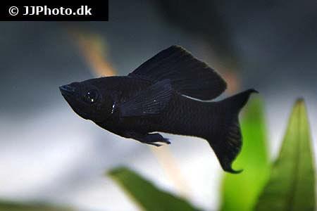 Molly Fish - Poecilia latipinna