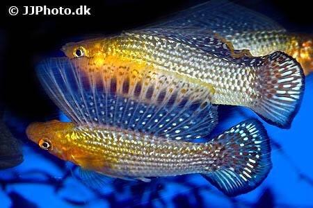 Molly Fish - Poecilia velifera