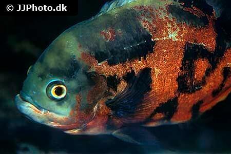 Oscar Fish - Astronotus ocellatus