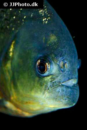 Piranha head and mouth view