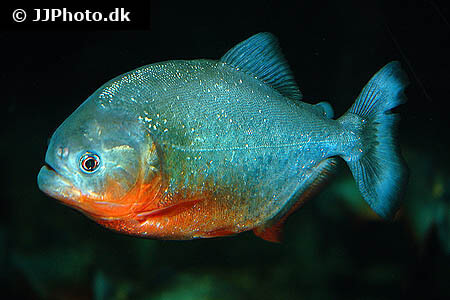 Piranha - Pygocentrus nattereri