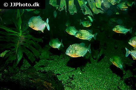 School of Piranha
