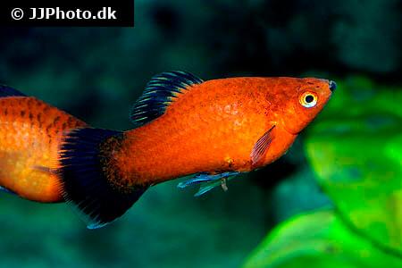 Black Tail Platy fish