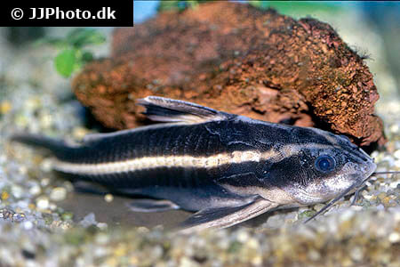 Striped Raphael Catfish near substrate