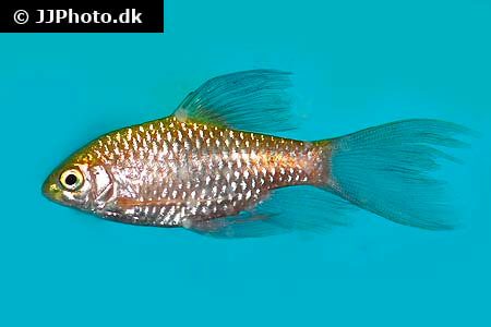Veiltail Rosy Barb