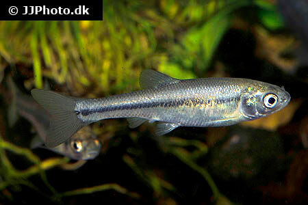 Rosy Red Minnow Care - Size, Lifespan, Tank Mates, Breeding