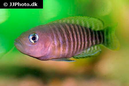 Shell Dweller Cichlids
