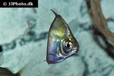 Silver Dollar Fish turning