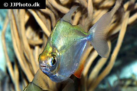 Silver Dollar Fish head view