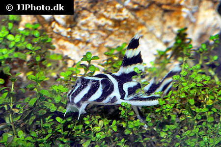 Zebra Pleco