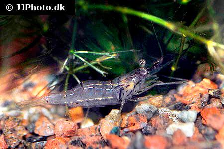 palaemonetes ghost shrimp