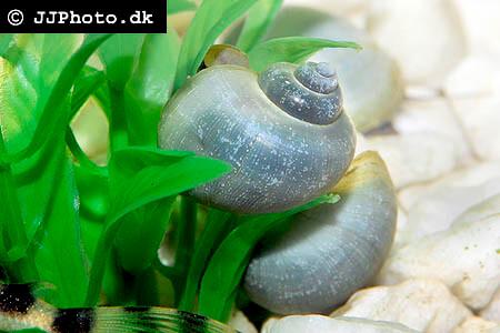 Pomacea bridgesii blue mystery apple snail