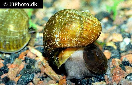 Pomacea bridgesii brown mystery apple snail