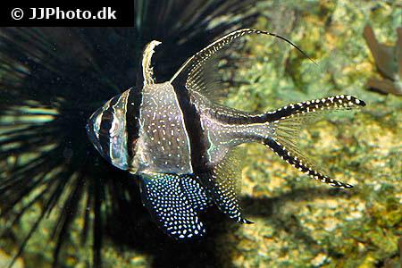 Banggai Cardinalfish and black urchin