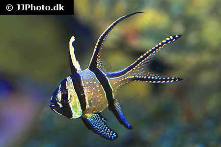 Banggai Cardinalfish side view