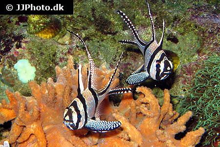 Banggai Cardinalfish Pair