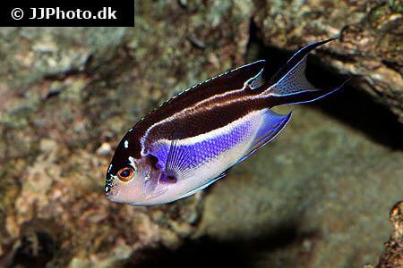 Female Bellus Angelfish