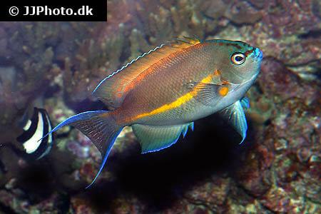 Bellus Angelfish side view