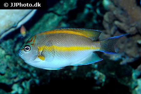 Male Bellus Angelfish