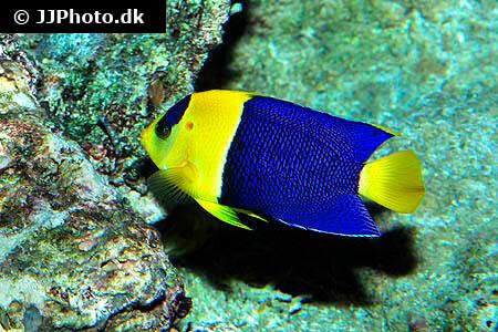 Bicolor Angelfish - Centropyge bicolor