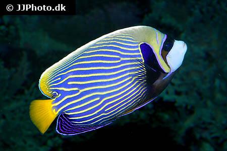 Pomacanthus imperator - Emperor Angelfish