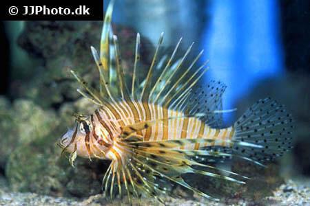 Pterois volitans - Lionfish