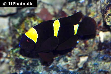 Maroon Clownfish Care - Size, Life Span, Tank Mates, Breeding