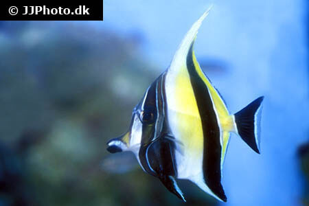 Moorish Idol Care Size Life Span Tank Mates Breeding