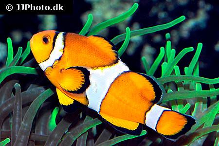 Clownfish pair in anemone