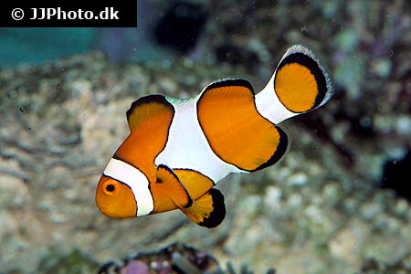 Side view of Clownfish