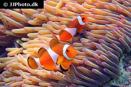 Clownfish in anemone