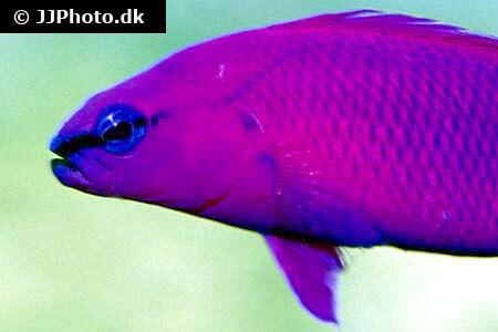 Orchid Dottyback - Pseudochromis fridmani