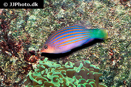 Six Line Wrasse and coral