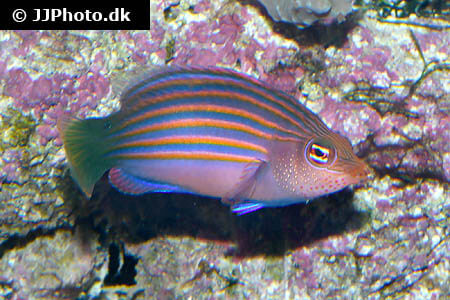 View of Six Line Wrasse