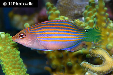 Six Line Wrasse near coral