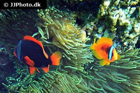 Red Clownfish
