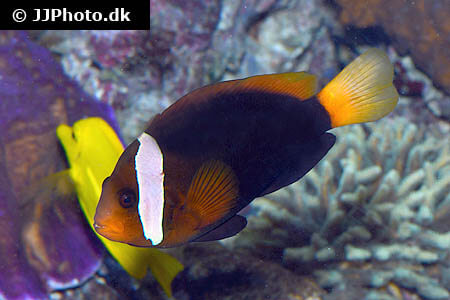 Amphiprion frenatus - Tomato Clownfish