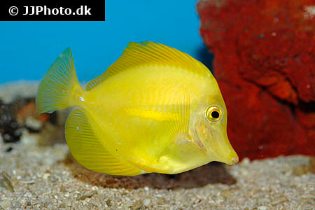 Yellow Tang grazing for food