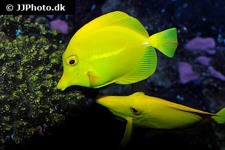 Two Yellow Tangs