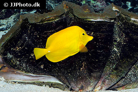 Yellow Tang and giant clam shell
