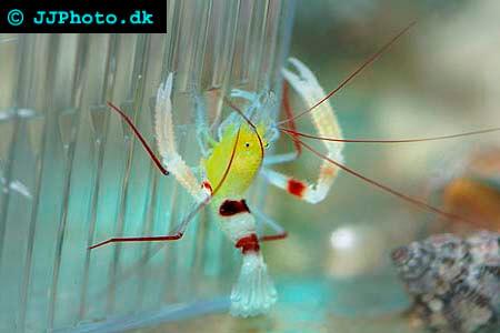 Gold Coral Banded Shrimp