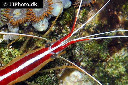 Skunk Cleaner Shrimp on rock